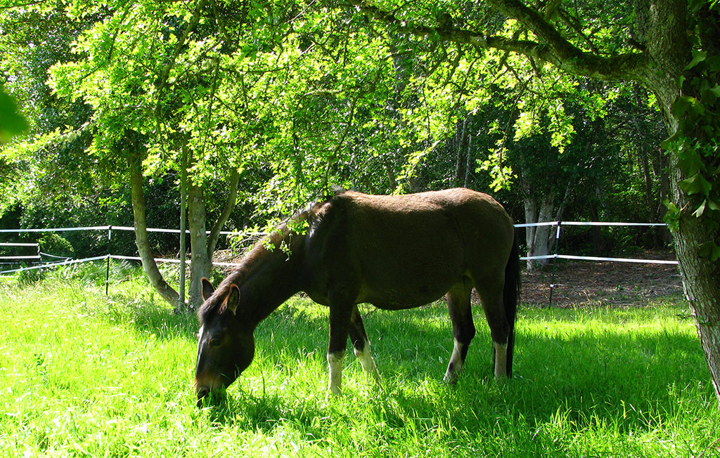 Umber, Tennessee Walker Mule