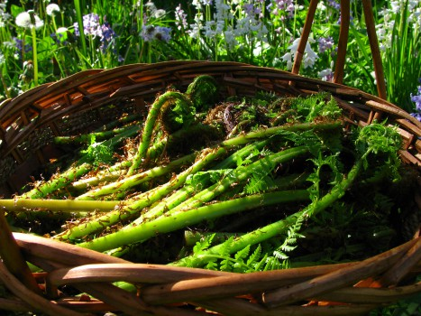A basket of freshly-gathered fiddleheads.